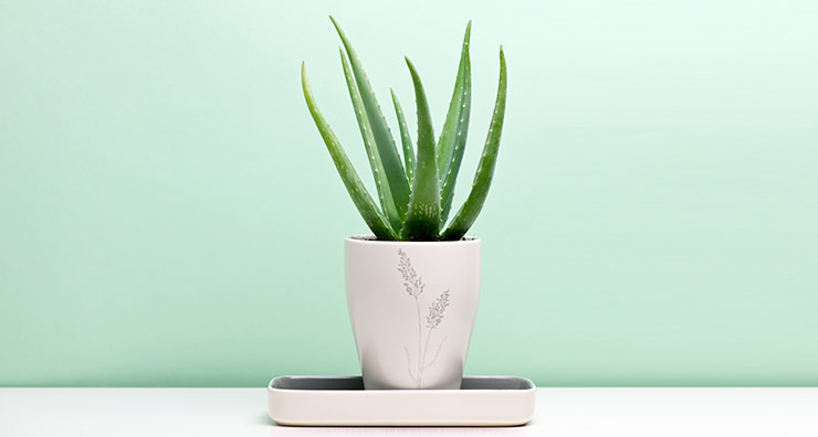 Three Reasons You Need Aloe Vera All Year Round