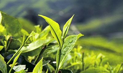 The Benefits Of Green Tea For Your Skin