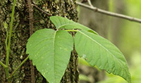 Poison Ivy: Dr. Joel Schlessinger shares treatment tips