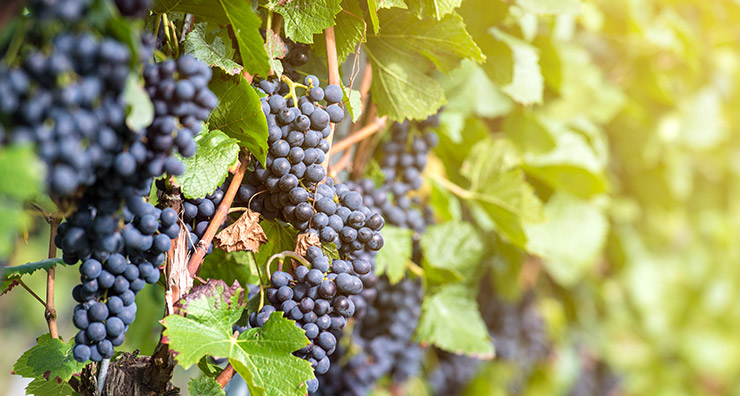 Ingredient Spotlight: Resveratrol